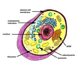 The cell with labeled organelles